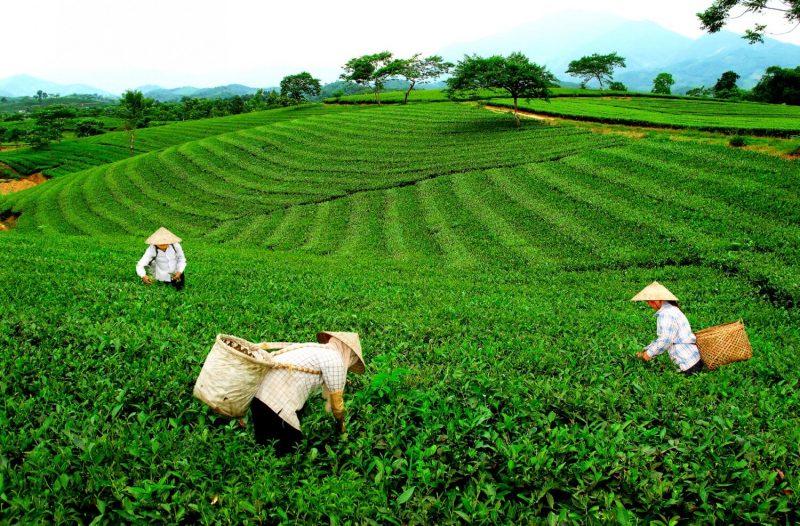 Trà Bắc Thái Nguyên Thơm Ngon Chuẩn Vị Từ Vườn Nhà