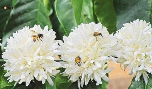 10 Bí Mật Đằng Sau Và Câu Hỏi Mật Ong Hoa Cà Phê Có Màu Gì?