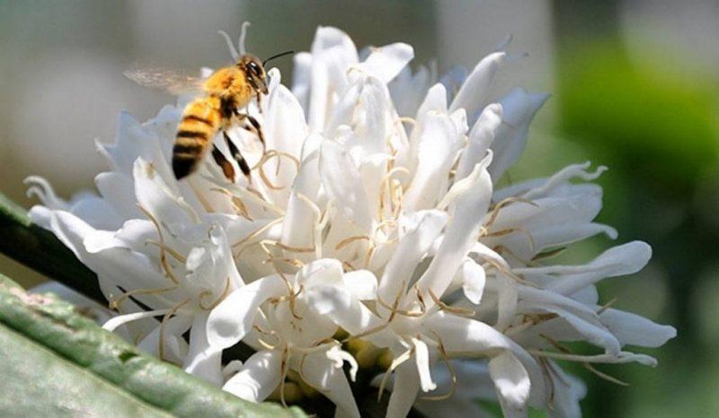Mật Ong Hoa Cà Phê Là Gì Và Ở Đâu